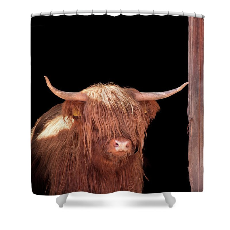 Horned Shower Curtain featuring the photograph Highland Cattle In Barn Door by Kerrick