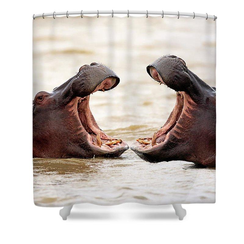 Isimangaliso Wetland Park Shower Curtain featuring the photograph Hippopotamus by Tier Und Naturfotografie J Und C Sohns