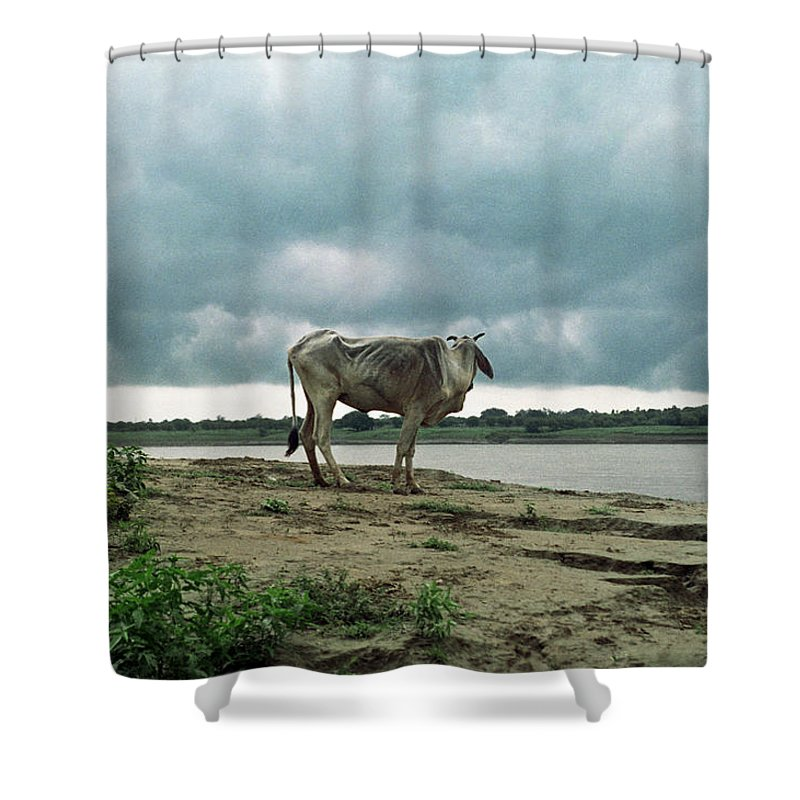 Animal Themes Shower Curtain featuring the photograph Holy Cow By Ganges River by Boaz Rottem
