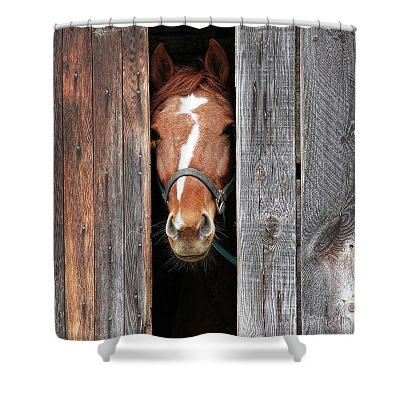 Horse Shower Curtain featuring the photograph Horse Peeking Out Of The Barn Door by 2ndlookgraphics
