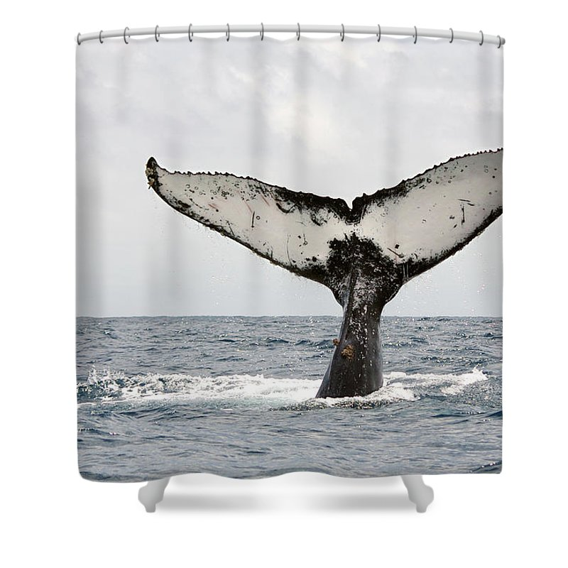 Animal Themes Shower Curtain featuring the photograph Humpback Whale Tail by Photography By Jessie Reeder