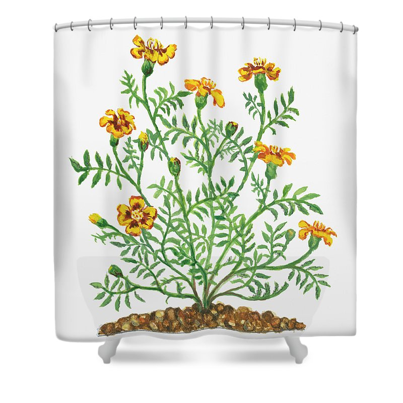 Long Shower Curtain featuring the digital art Illustration Of Tagetes Patula French by Dorling Kindersley