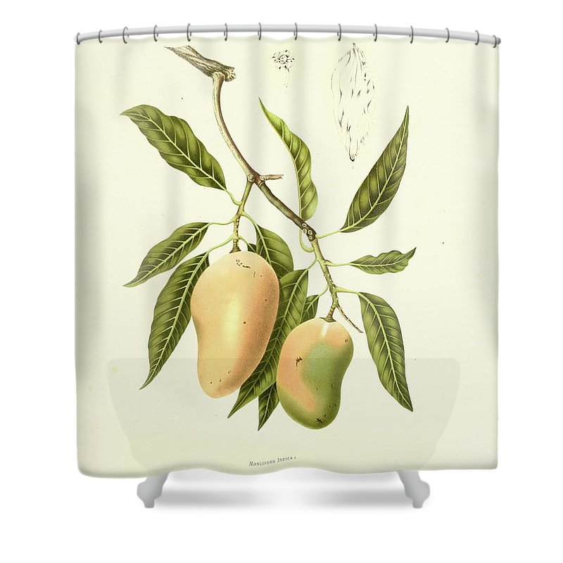 Artist Shower Curtain featuring the digital art Indian Mango | Antique Plant by Nicoolay