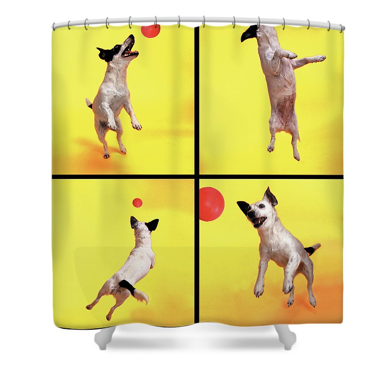 Pets Shower Curtain featuring the photograph Jack Russell Jumping For Ball by Photodisc