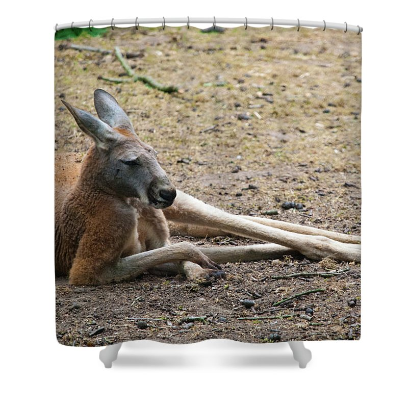 Animal Themes Shower Curtain featuring the photograph Kangaroo by Elizabeth Livermore