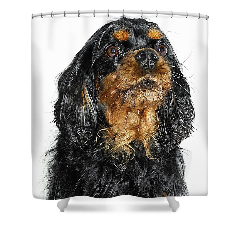 Pets Shower Curtain featuring the photograph King Charles Cavalier Portrait by Gandee Vasan