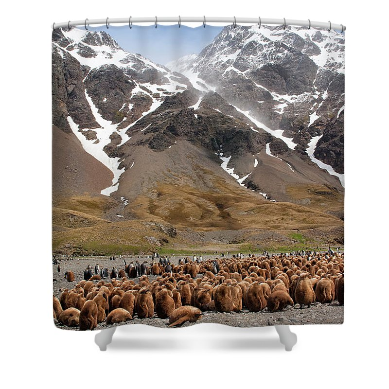 Scenics Shower Curtain featuring the photograph King Penguins Aptenodytes Patagonicus by Gabrielle Therin-weise