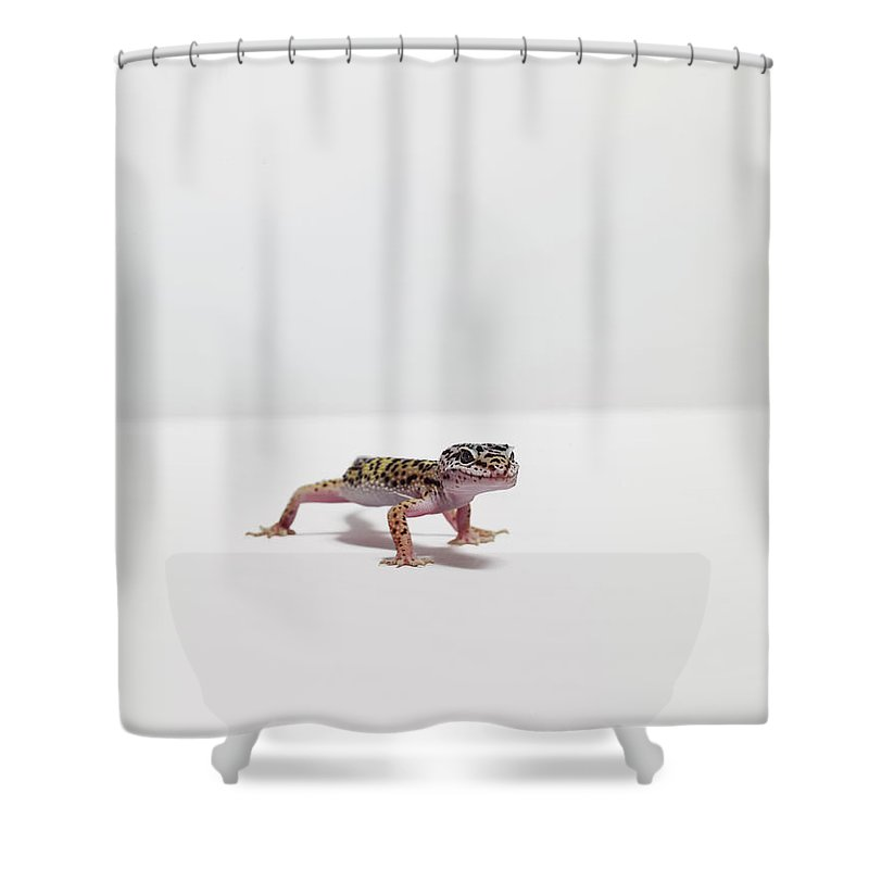 White Background Shower Curtain featuring the photograph Leopard Gecko by Dan Burn-forti