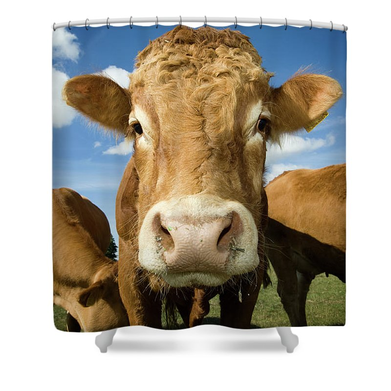 Cow Shower Curtain featuring the photograph Limousin Bull by Clarkandcompany