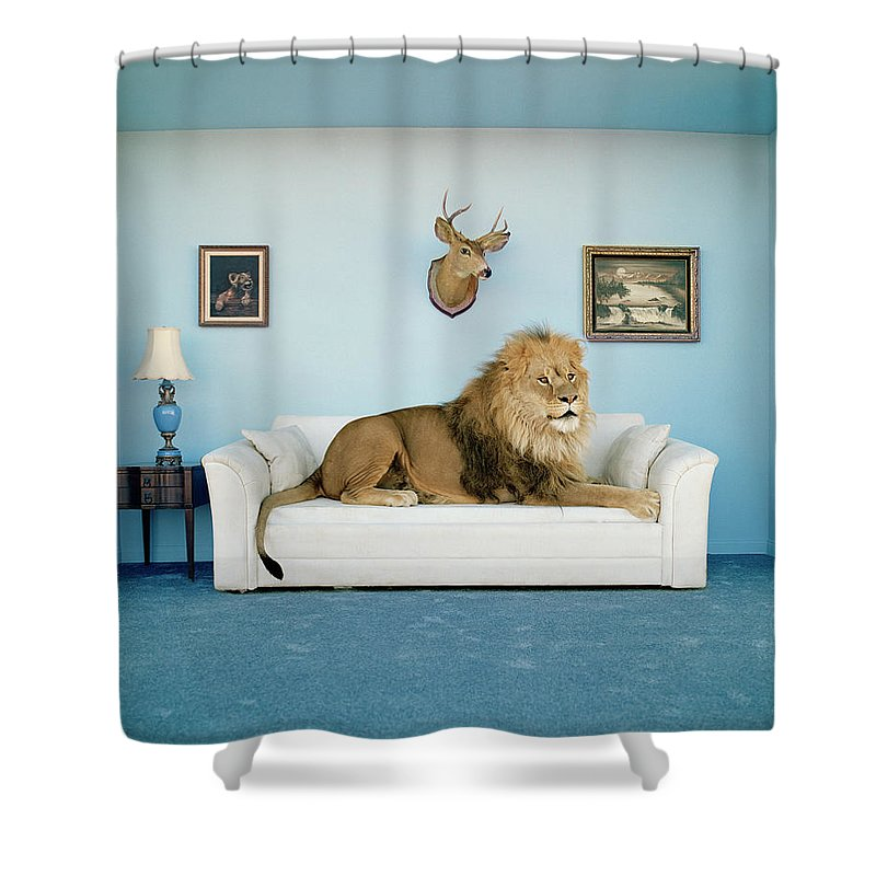 Pets Shower Curtain featuring the photograph Lion Lying On Couch, Side View by Matthias Clamer