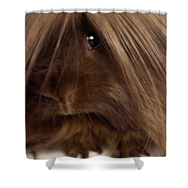Pets Shower Curtain featuring the photograph Long Haired Guinea Pig, Close-up by Michael Blann