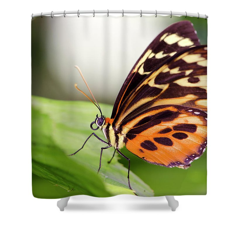 Flowerbed Shower Curtain featuring the photograph Macro Insect Common Tiger Glassywing by Elementalimaging