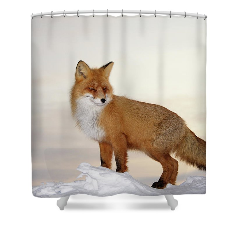 Black Color Shower Curtain featuring the photograph Majestic Fox by Dmitrynd