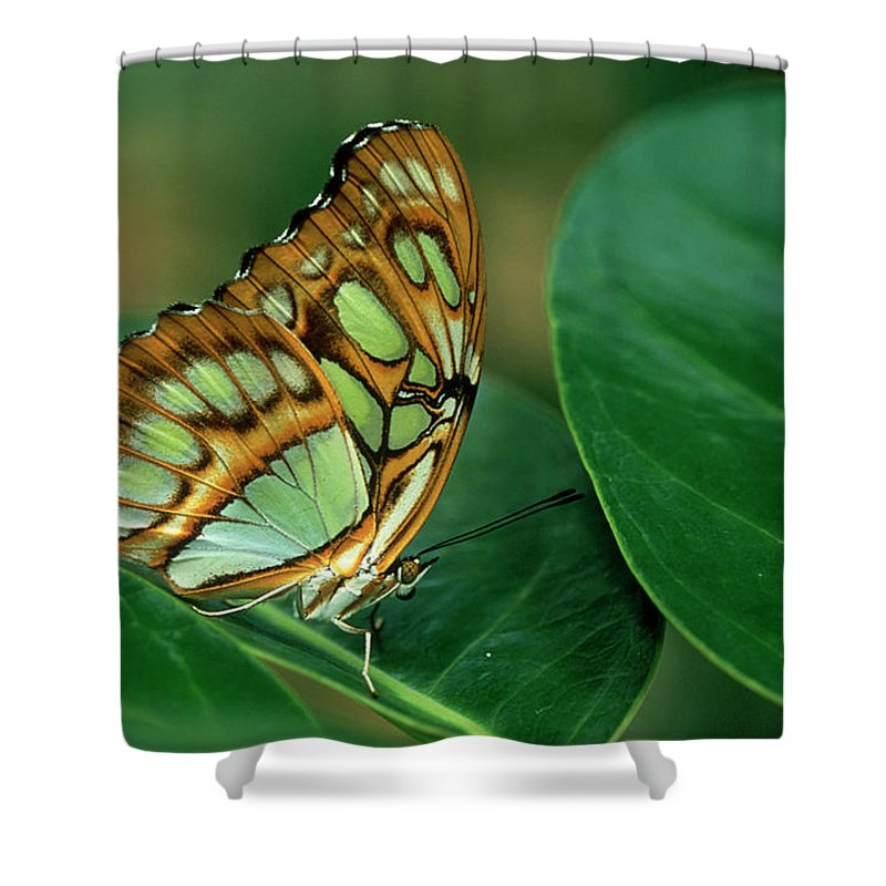 Nymphalidae Shower Curtain featuring the photograph Malachite Butterfly, Siproeta Stelenes by Adam Jones