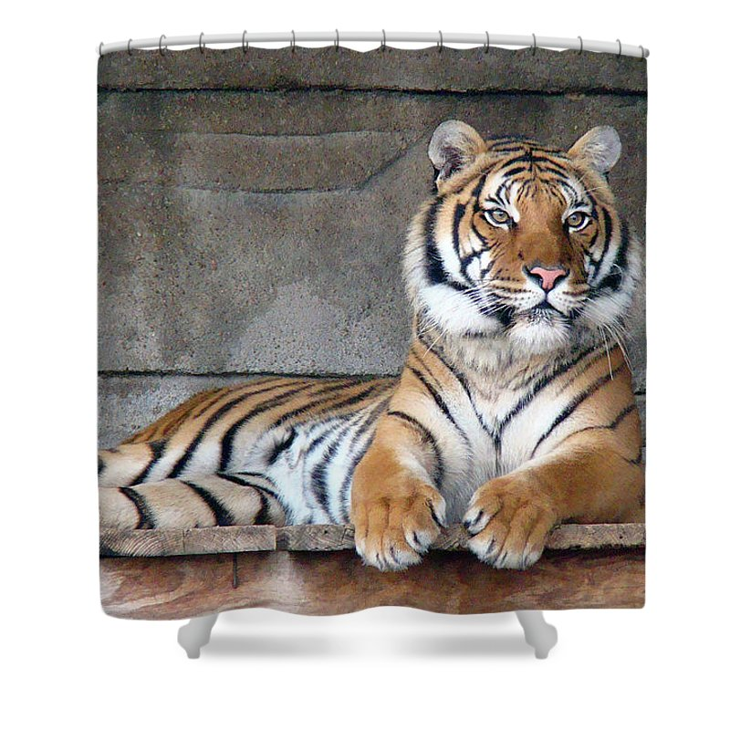 Animal Themes Shower Curtain featuring the photograph Malayan Tiger by Photography By P. Lubas