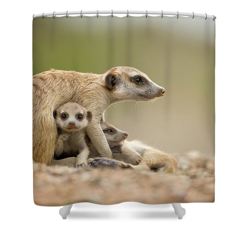 Care Shower Curtain featuring the photograph Meerkat Pups With Adult, Namibia by Paul Souders