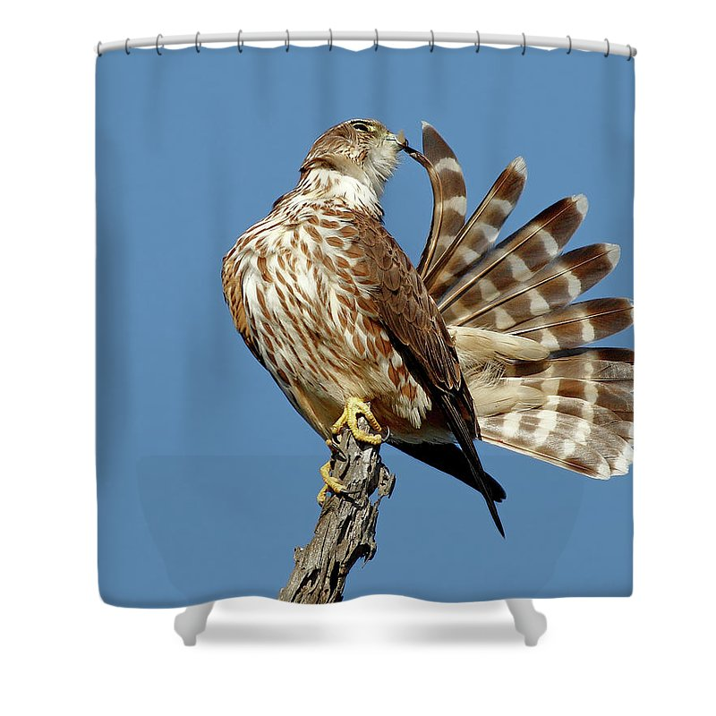 Animal Themes Shower Curtain featuring the photograph Merlins Grooming Session by Bmse