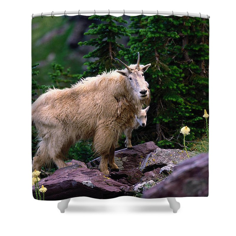 Animal Themes Shower Curtain featuring the photograph Mountain Goat Oreamnos Americanus by Art Wolfe