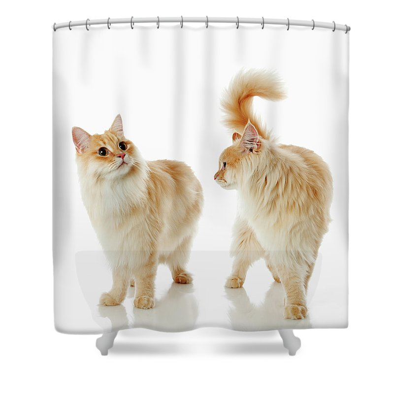 Humor Shower Curtain featuring the photograph Munchkin Cats by Ultra.f