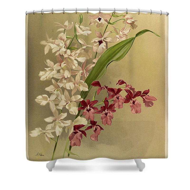 Sander Shower Curtain featuring the painting Orchid, Cattleya Hybrid Calanthes, Victoria Regina, Bella, Burfordiense by Henry Frederick Conrad Sander