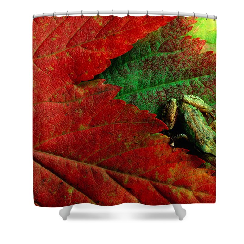 Pacific Tree Frog Shower Curtain featuring the photograph Pacific Tree Frog Hyla Regilla On Maple by Art Wolfe