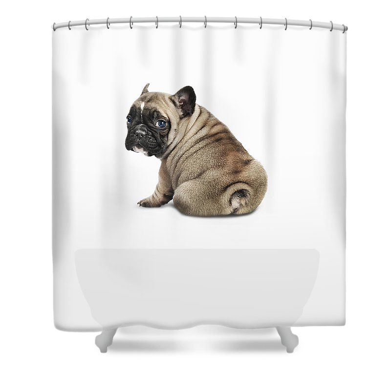 Pets Shower Curtain featuring the photograph Pedigree French Bulldog Against A White by Andrew Bret Wallis