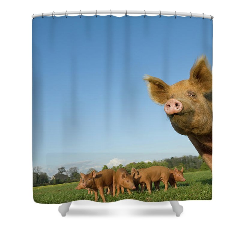 Pig Shower Curtain featuring the photograph Pig In Field by Henry Arden