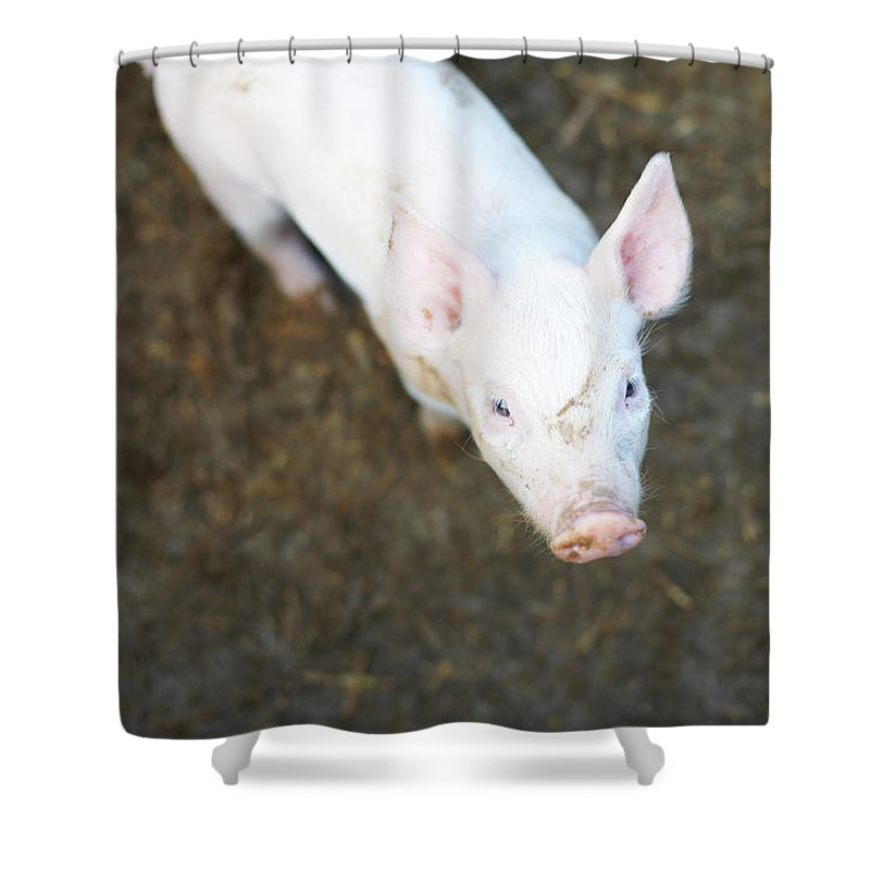 Pig Shower Curtain featuring the photograph Pig Standing In Dirt Field by Peter Muller
