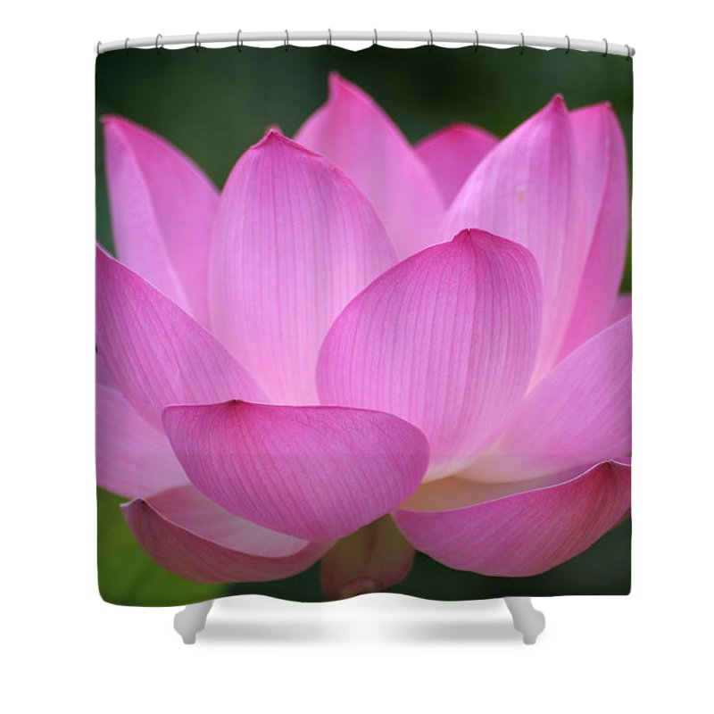 Petal Shower Curtain featuring the photograph Pink Backlit Lotus - Largest Collection by Narcisa
