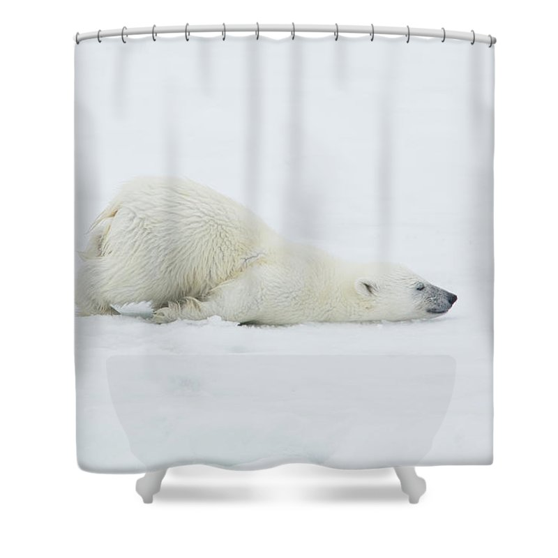 Svalbard Islands Shower Curtain featuring the photograph Polar Bear Cub Stretching Out On Ice by Darrell Gulin