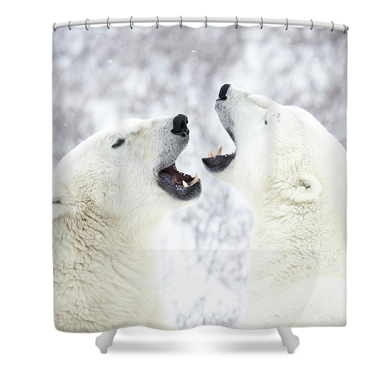 Snow Shower Curtain featuring the photograph Polar Bears Playing In The Snow by Chris Hendrickson