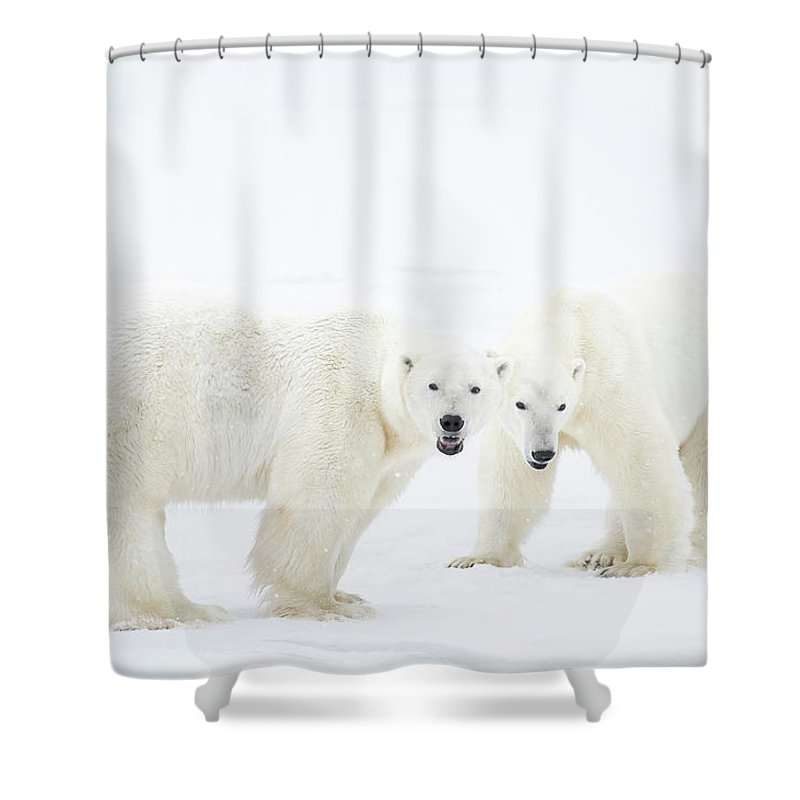 Snow Shower Curtain featuring the photograph Polar Bears Standing On Snow After by Chris Hendrickson