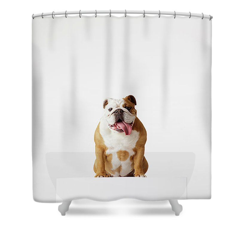 Pets Shower Curtain featuring the photograph Portrait Of British Bulldog Sitting by Compassionate Eye Foundation/david Leahy
