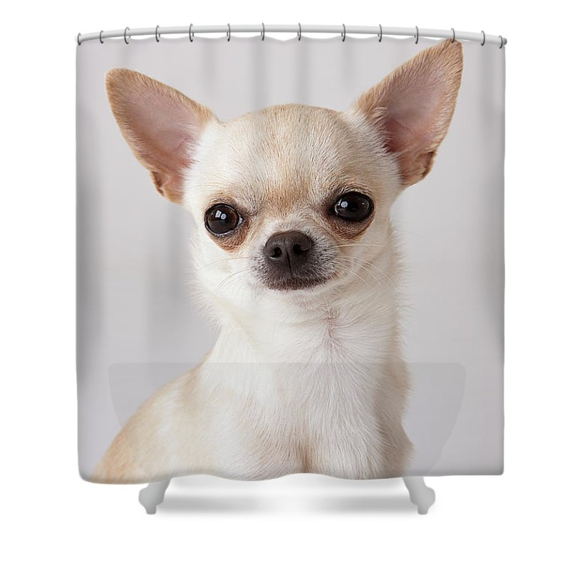 Pets Shower Curtain featuring the photograph Portrait Of Chihuahua by Compassionate Eye Foundation/david Leahy