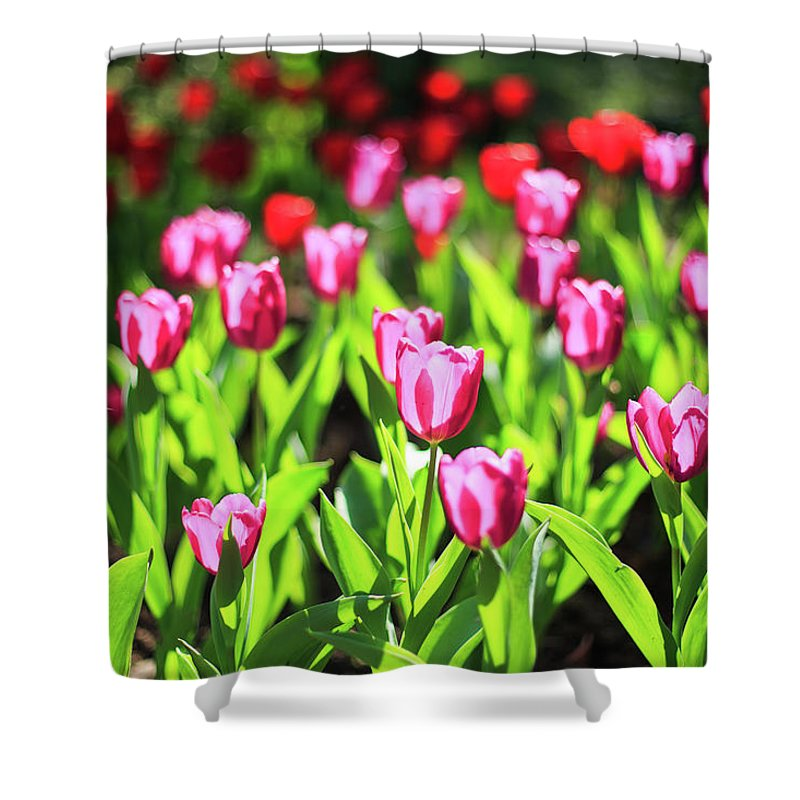 Taiwan Shower Curtain featuring the photograph Purple And Red Tulips Under Sun Light by Samyaoo