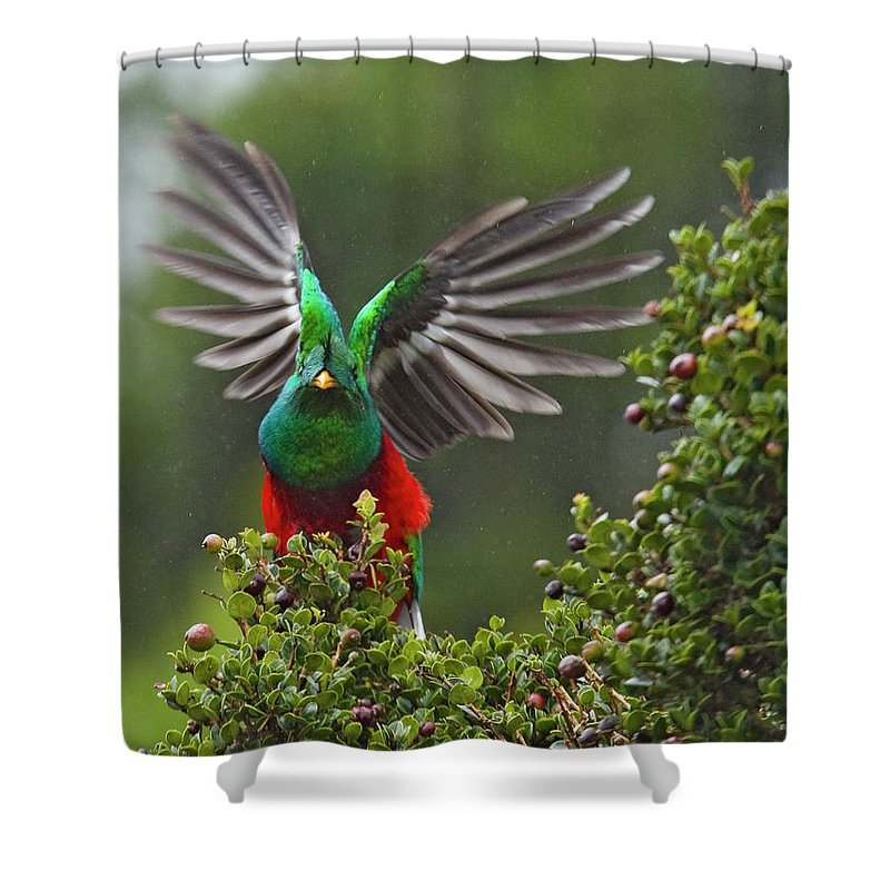 Animal Themes Shower Curtain featuring the photograph Quetzal Taking Flight by Photograph Taken By Nicholas James Mccollum