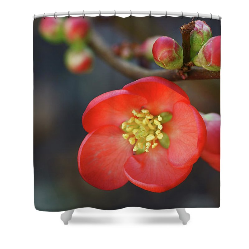 Bud Shower Curtain featuring the photograph Red Flowering Quince by Picture By La-ong