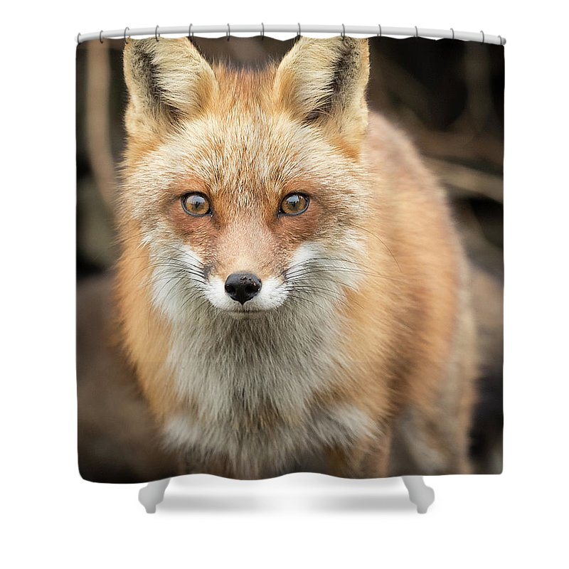 Red Fox Shower Curtain featuring the photograph Red Fox Stare by Everet Regal