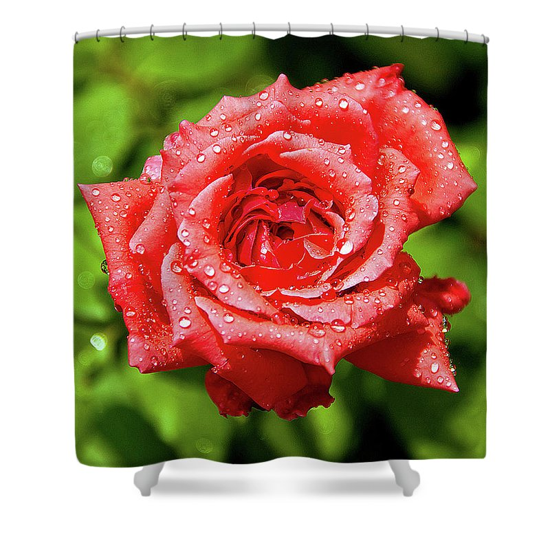 New Delhi Shower Curtain featuring the photograph Rose With Raindrops by Charlie Joe