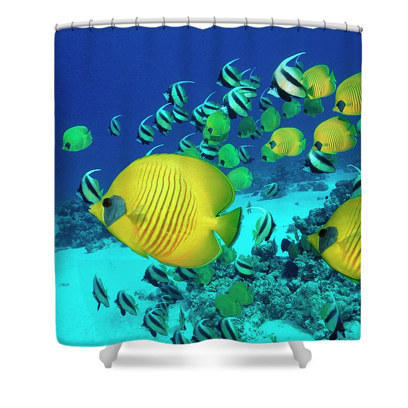 Underwater Shower Curtain featuring the photograph School Of Butterfly Fish Swimming On by Georgette Douwma