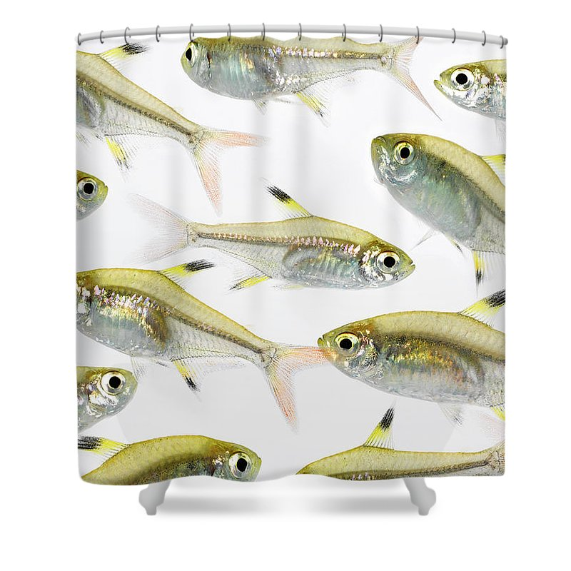 White Background Shower Curtain featuring the photograph School Of X-ray Tetra Fish Pristella by Don Farrall