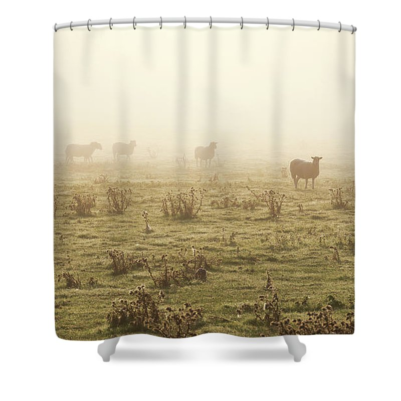 Dawn Shower Curtain featuring the photograph Sheep Viewed On A Misty Morning by Travelpix Ltd