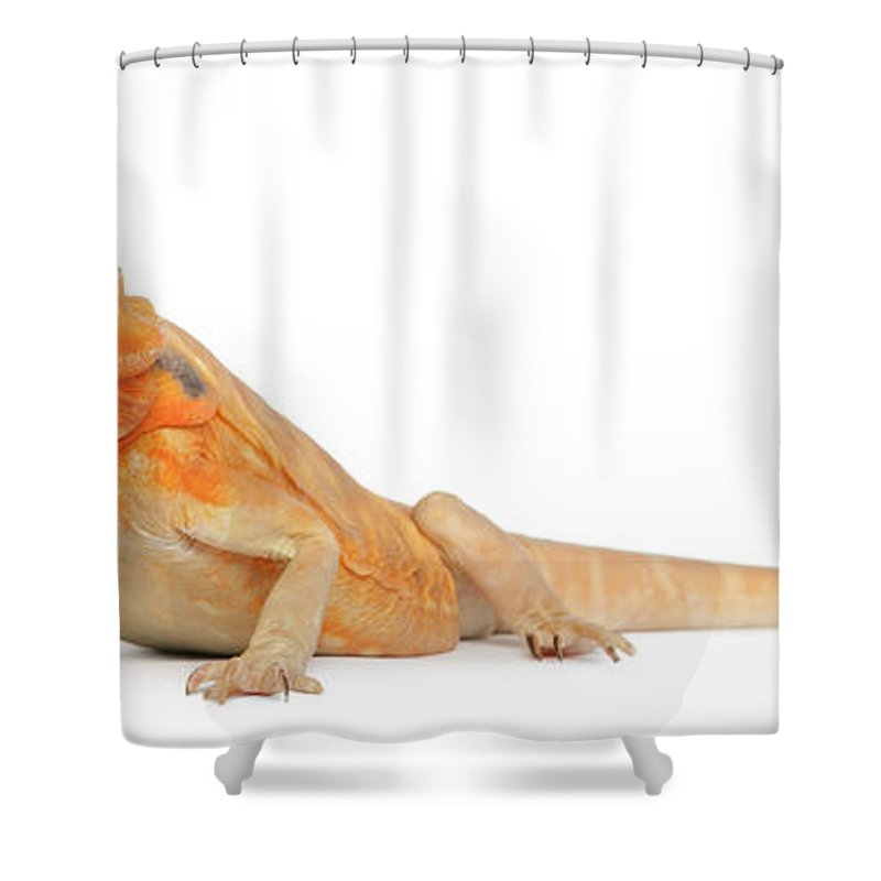 Belgium Shower Curtain featuring the photograph Silkbacks Scaleless Bearded Dragon by Life On White