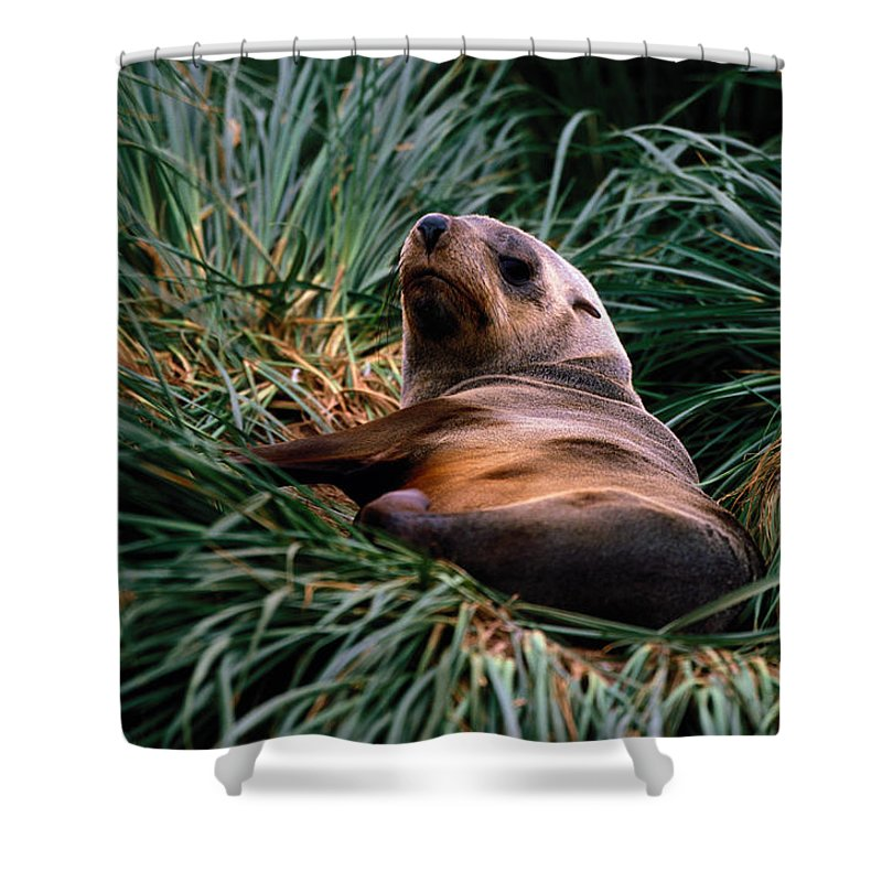 Grass Shower Curtain featuring the photograph Southern Fur Seal Arctocephalus Gazella by Art Wolfe