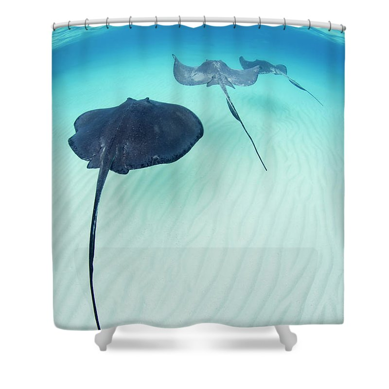 Underwater Shower Curtain featuring the photograph Southern Stingray Cayman Isalnds by Justin Lewis