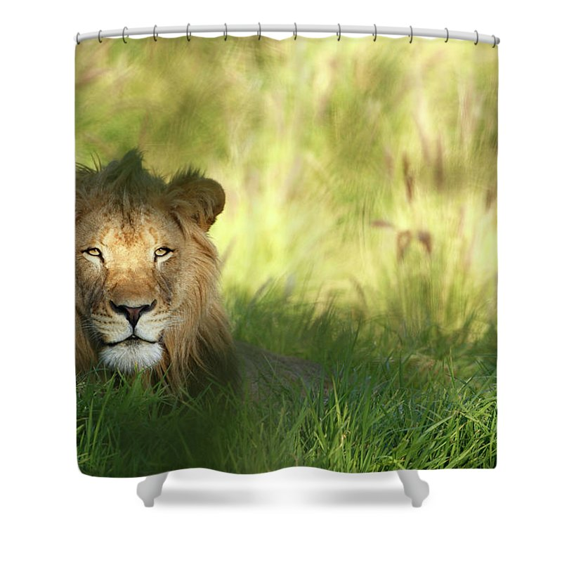 Tropical Rainforest Shower Curtain featuring the photograph Staring Lion In Field Of Grass With by Jimkruger