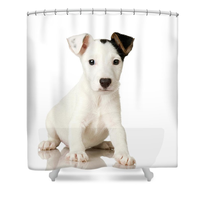 Pets Shower Curtain featuring the photograph Studio Portrait Of Jack Russell Terrier by Jupiterimages