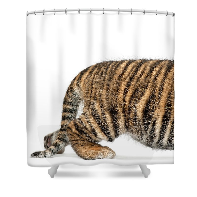 White Background Shower Curtain featuring the photograph Sumatran Tiger Cub - Panthera Tigris by Life On White