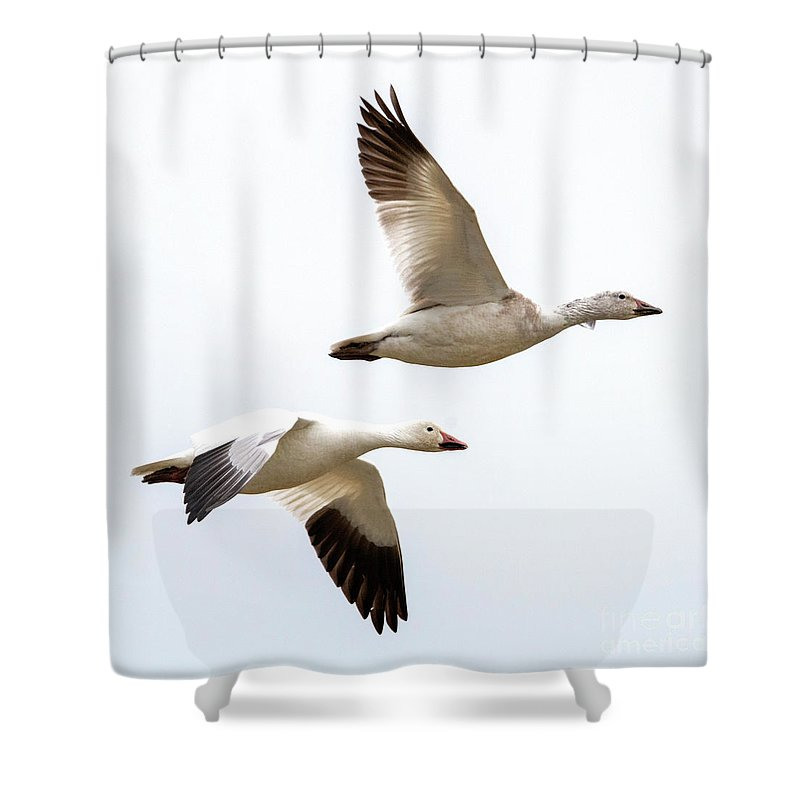 Snow Geese Shower Curtain featuring the photograph Tandem Flight by Mike Dawson