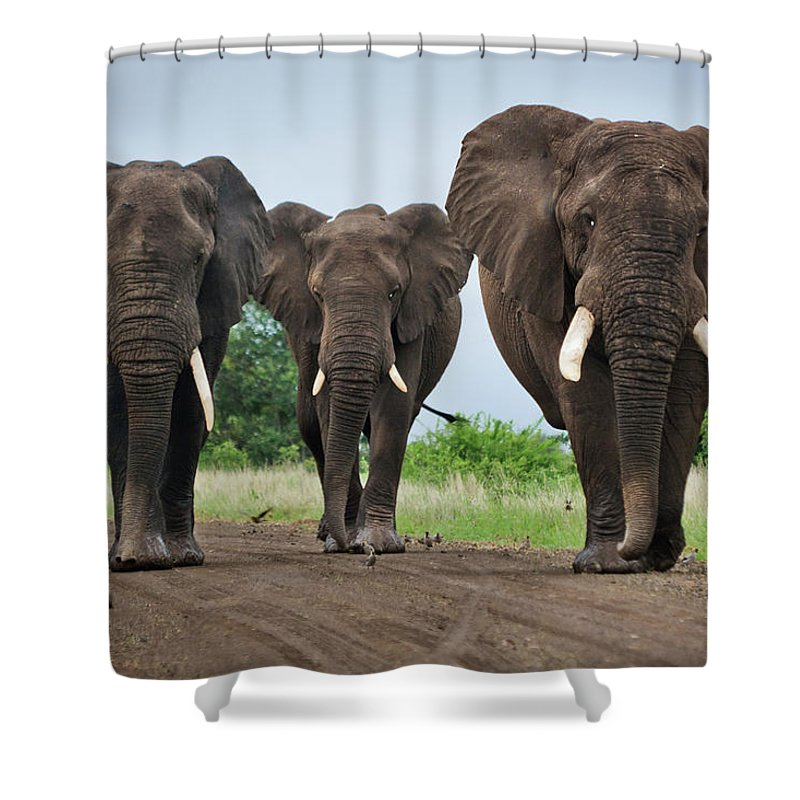 Toughness Shower Curtain featuring the photograph Three Big Elephants On A Dirt Road by Johansjolander